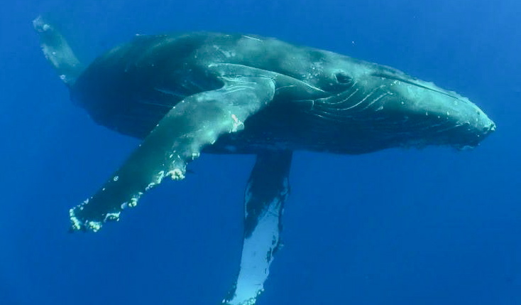 Underwater_Humpback_Whale 10
