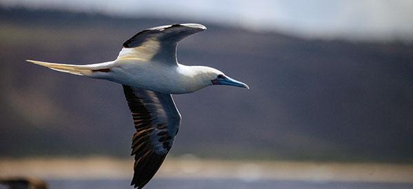 Boobie Bird off Kauai