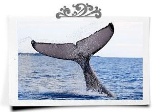 Humpback whale tail slap