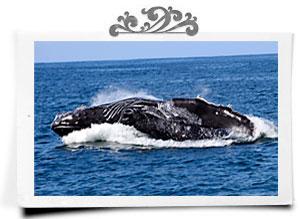 Humpback whale head lunge