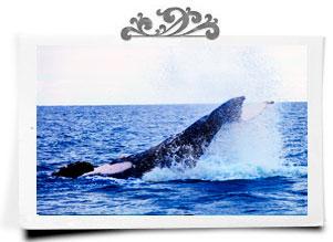Humpback whale peduncle slap